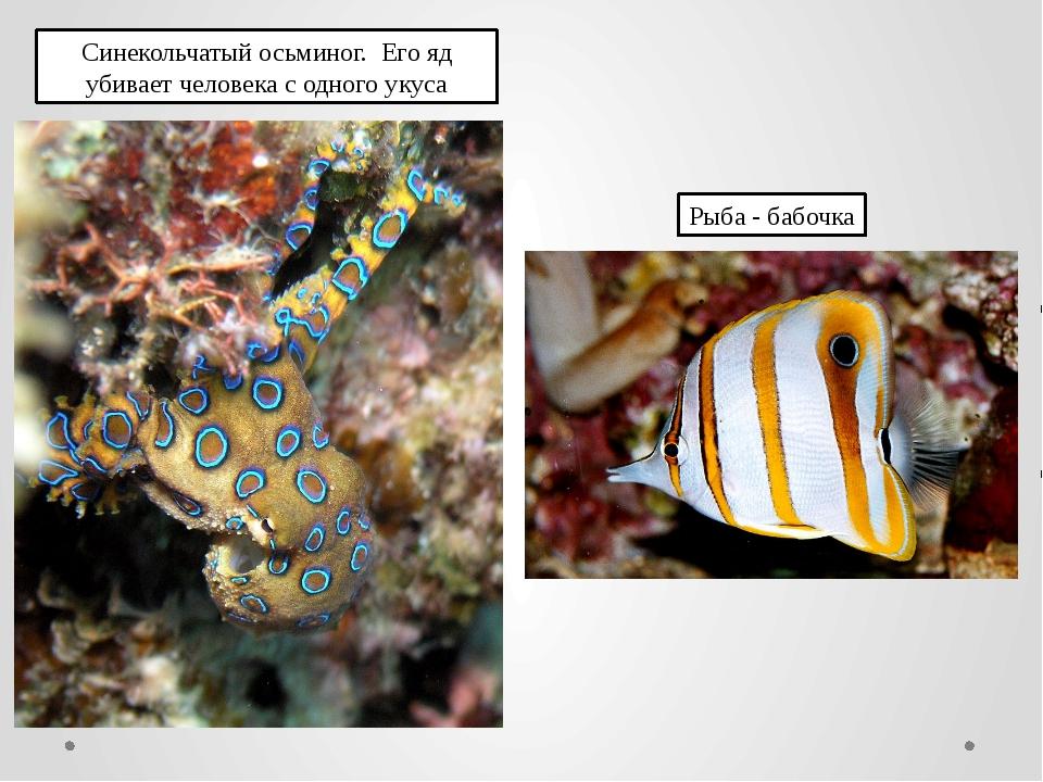 Синекольчатый осьминог. Его яд убивает человека с одного укуса Рыба - бабочка
