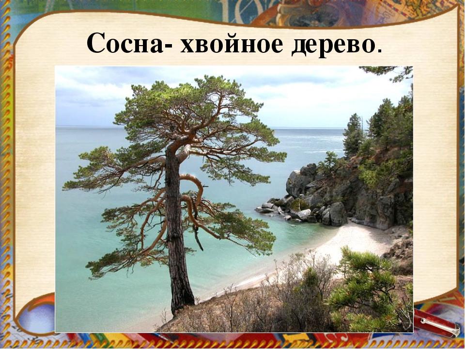 Сосна- хвойное дерево.