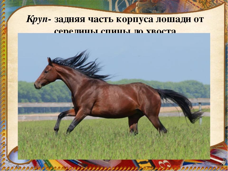 Круп- задняя часть корпуса лошади от середины спины до хвоста