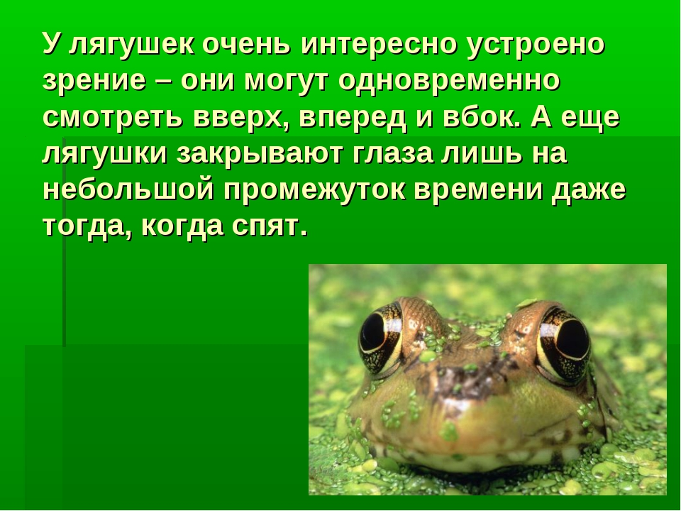 У лягушек очень интересно устроено зрение – они могут одновременно смотреть в...