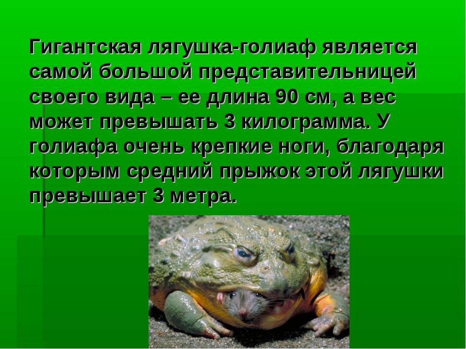 Гигантская лягушка-голиаф является самой большой представительницей своего ви...