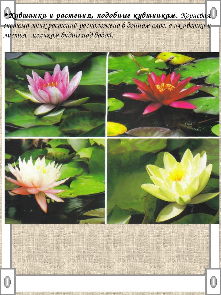 •Кувшинки и растения, подобные кувшинкам. Корневая система этих растений расп...