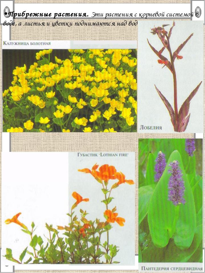 •Прибрежные растения. Эти растения с корневой системой в воде, а листья и цве...