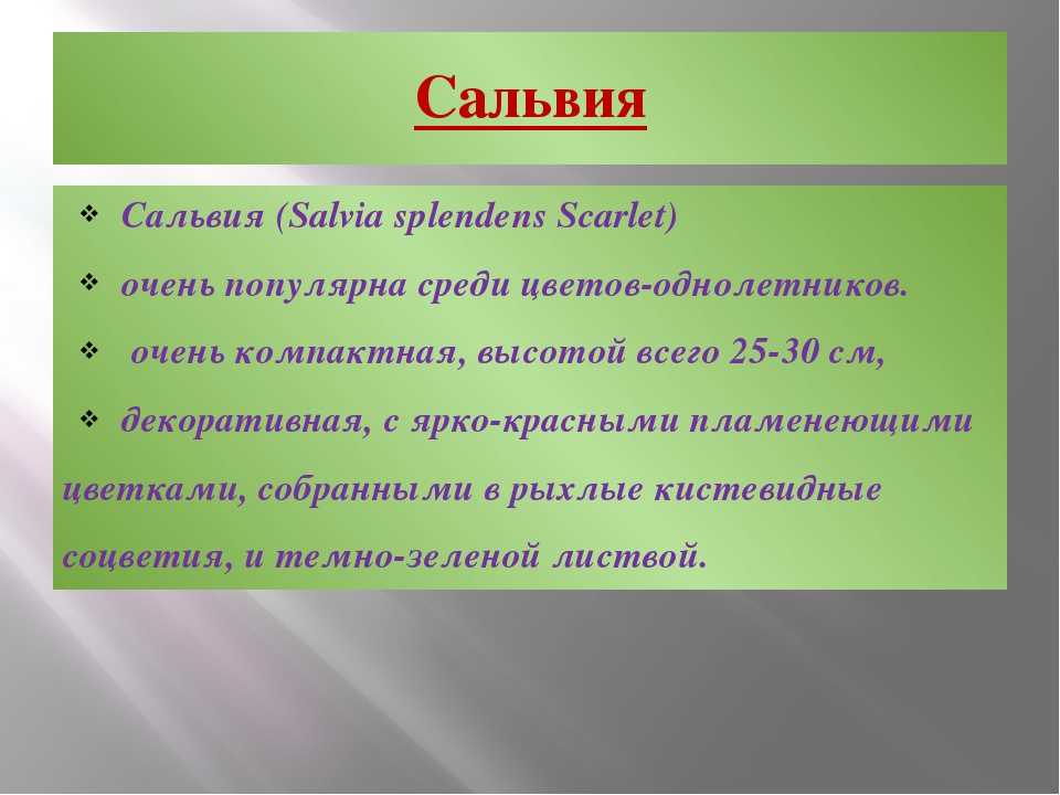 Сальвия Сальвия (Salvia splendens Scarlet) очень популярна среди цветов-однол...