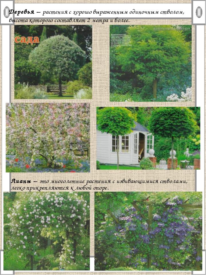 Деревья – растения с хорошо выраженным одиночным стволом, высота которого сос...