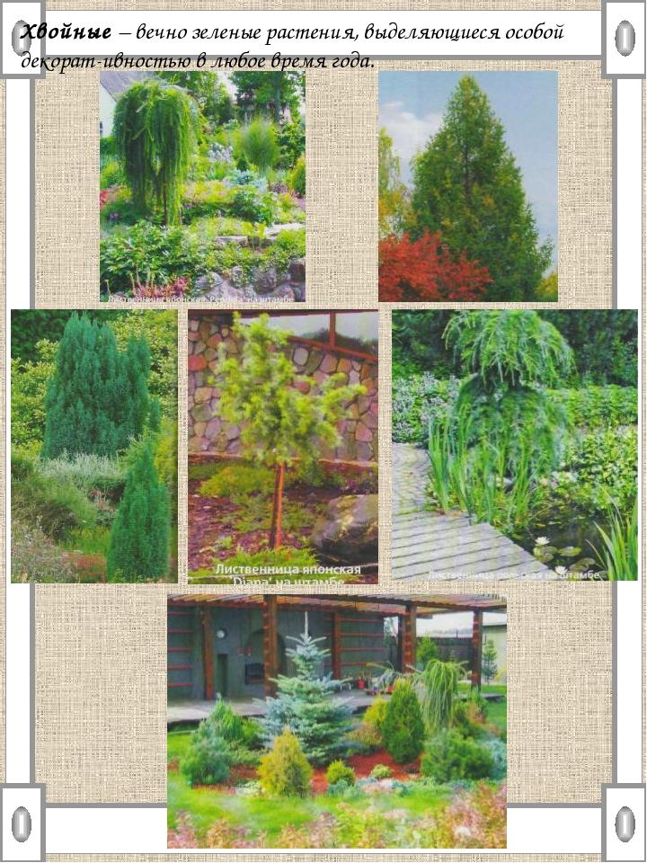 Хвойные – вечно зеленые растения, выделяющиеся особой декорат-ивностью в любо...