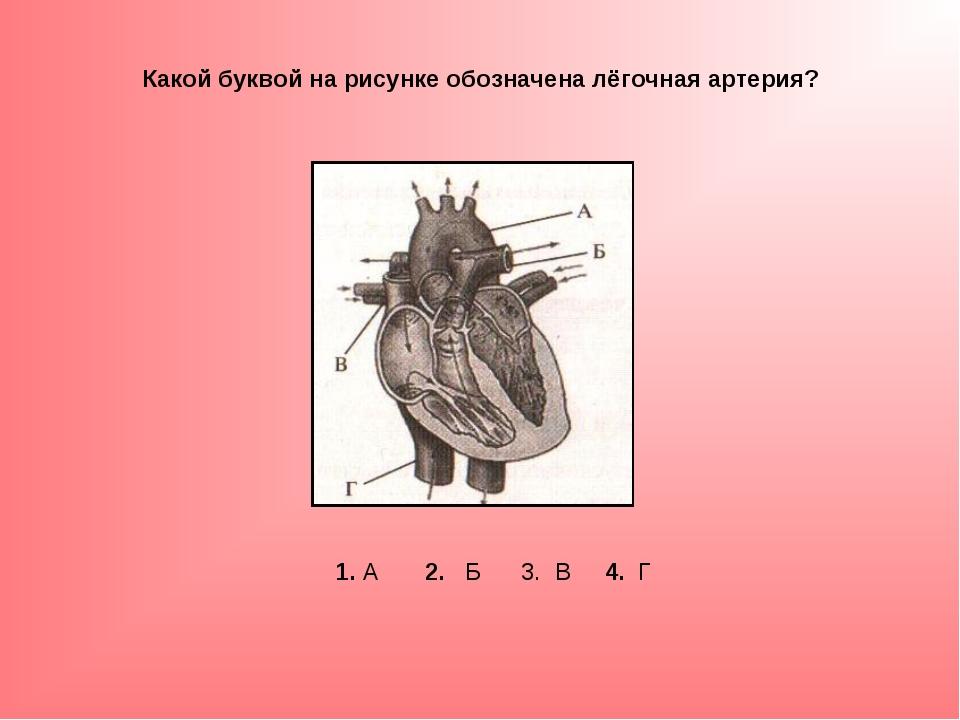 Какой буквой на рисунке обозначена лёгочная артерия? 1. А 2. Б 3. В 4. Г