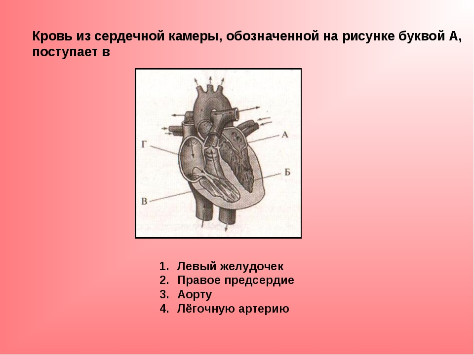 Кровь из сердечной камеры, обозначенной на рисунке буквой А, поступает в Левы...