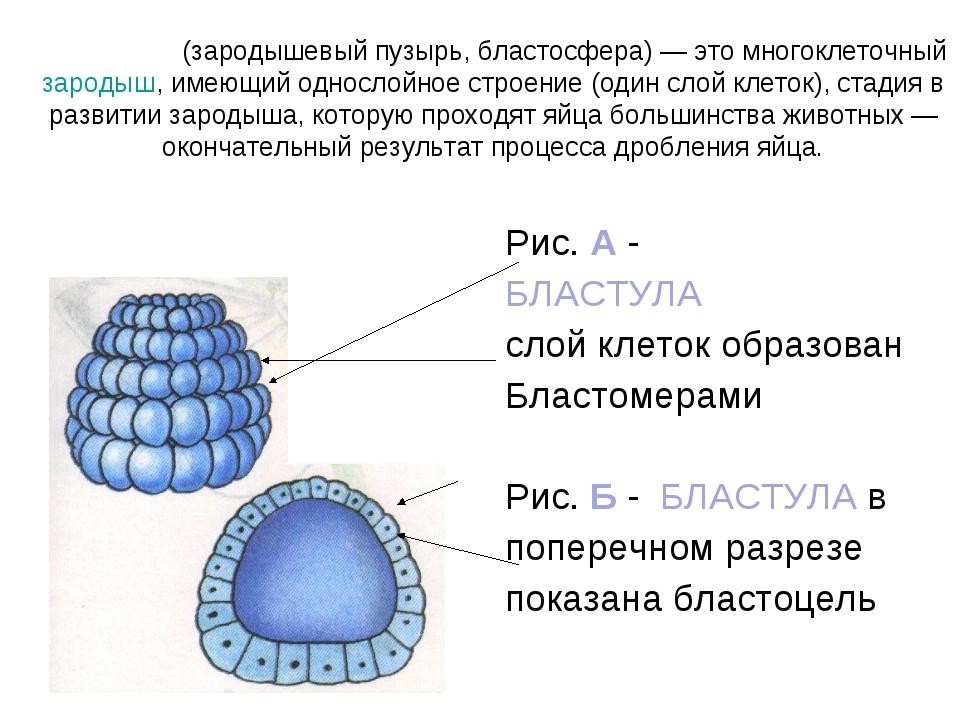 Рис. А - БЛАСТУЛА слой клеток образован Бластомерами Рис. Б - БЛАСТУЛА в попе...