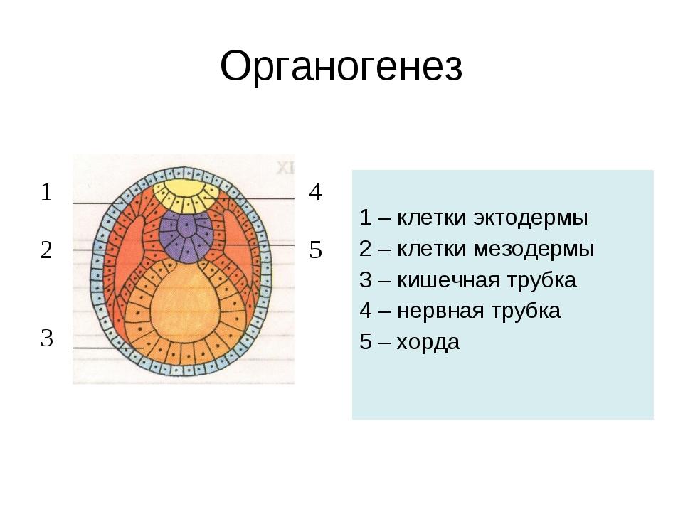 1 – клетки эктодермы 2 – клетки мезодермы 3 – кишечная трубка 4 – нервная тр...