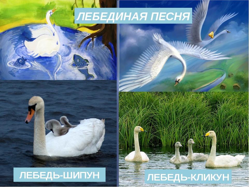 ЛЕБЕДИНАЯ ПЕСНЯ ЛЕБЕДЬ-ШИПУН ЛЕБЕДЬ-КЛИКУН