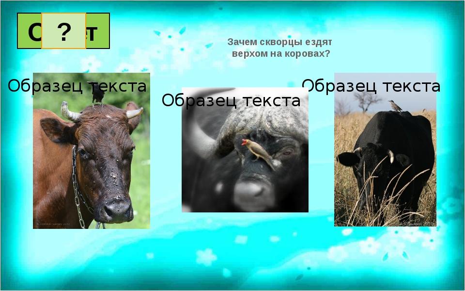 Зачем скворцы ездят верхом на коровах? Вопрос Ответ 1 2 3 4 5 6 7 8 9 10 11...