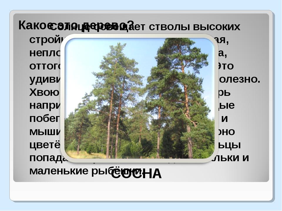 Солнце освещает стволы высоких стройных деревьев. Крона ажурная, неплотная,...