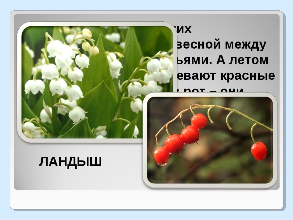 Гирлянды маленьких колокольчиков висят весной между остроконечными листьями...