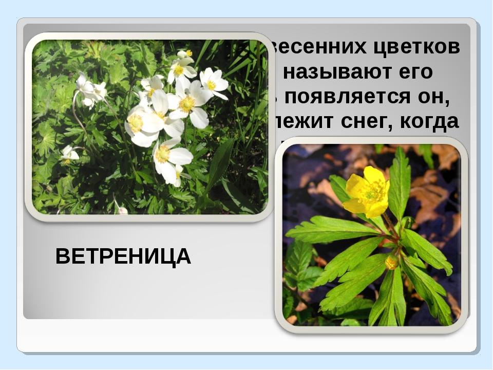 Один из ранних весенних цветков в нашем лесу. Часто называют его подснежник...