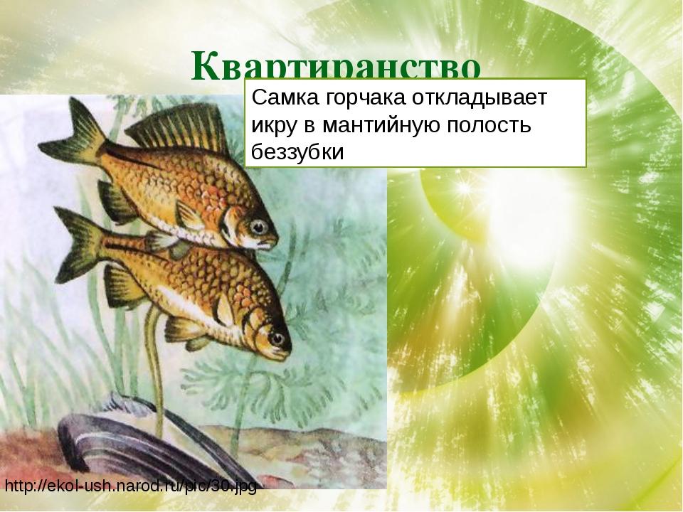 Квартиранство http://ekol-ush.narod.ru/pic/30.jpg Самка горчака откладывает и...