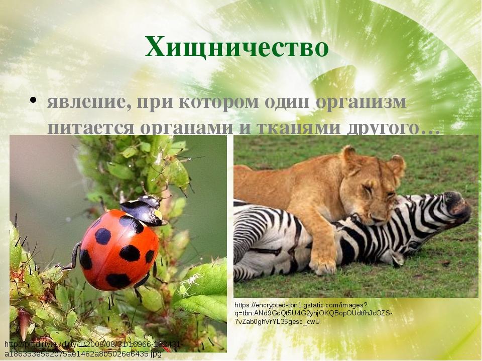 Хищничество явление, при котором один организм питается органами и тканями др...