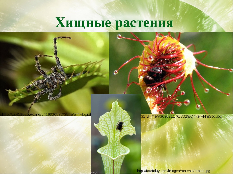 Хищные растения http://cs419620.vk.me/v419620533/354e/5TfMpgipk2o.jpg http://...