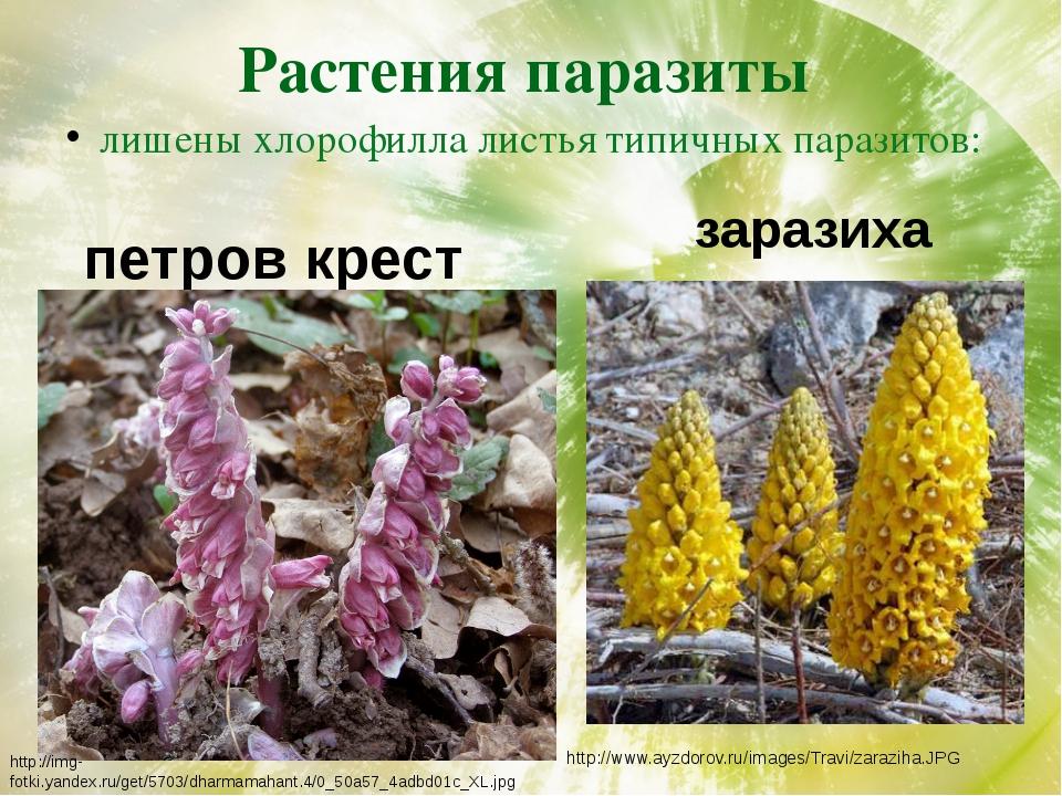 Растения паразиты лишены хлорофилла листья типичных паразитов: петров крест з...