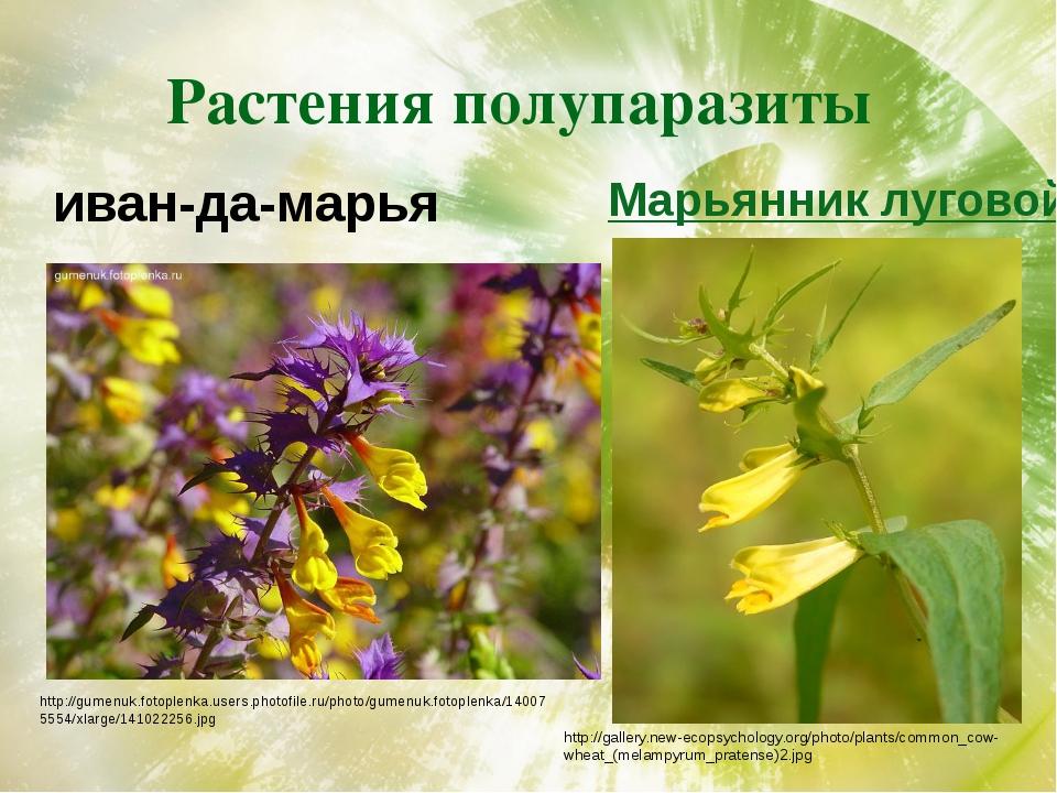 Растения полупаразиты иван-да-марья http://gumenuk.fotoplenka.users.photofile...