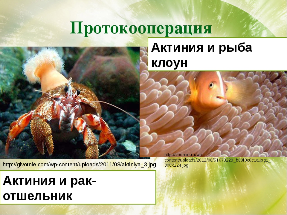 Протокооперация http://givotnie.com/wp-content/uploads/2011/08/aktiniya_3.jpg...