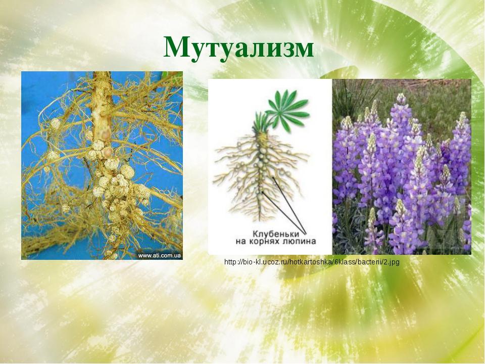 Мутуализм http://bio-kl.ucoz.ru/hotkartoshka/6klass/bacterii/2.jpg
