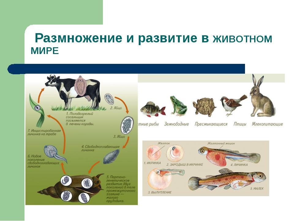 Размножение и развитие в ЖИВОТНОМ МИРЕ