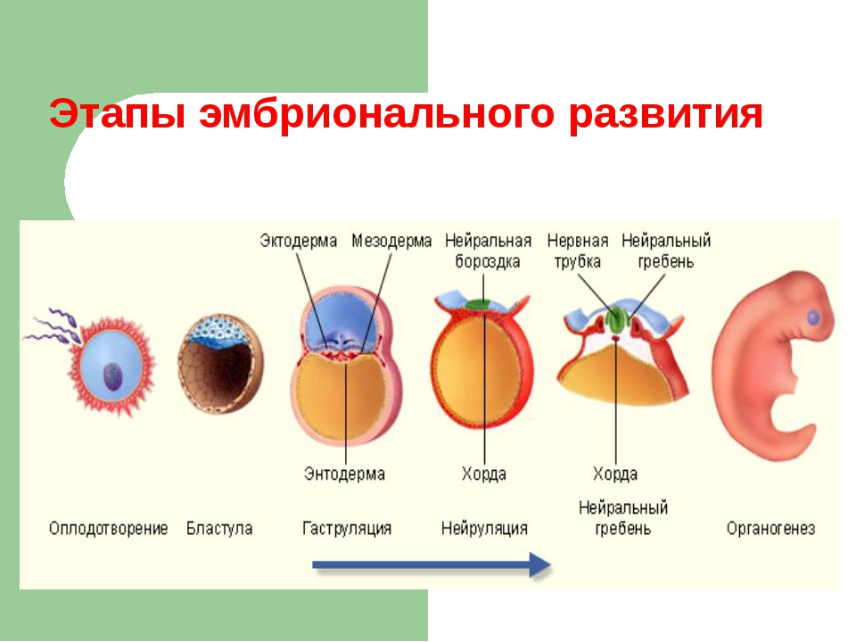 Этапы эмбрионального развития