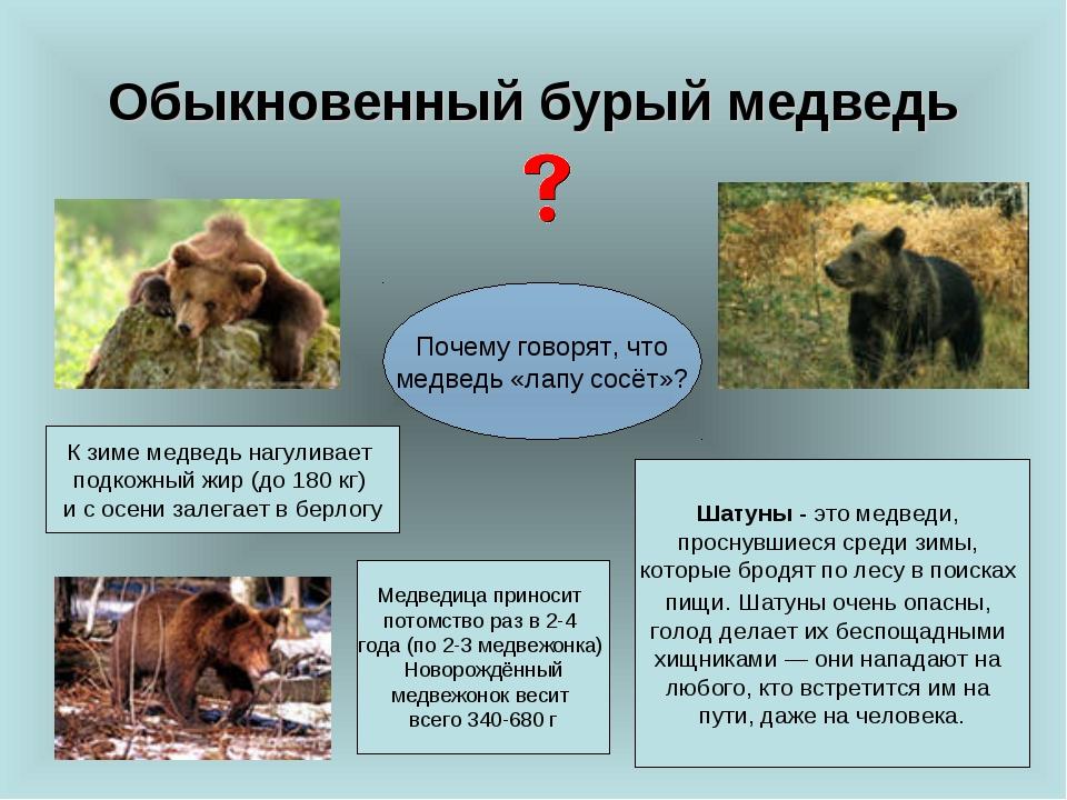 Обыкновенный бурый медведь Почему говорят, что медведь «лапу сосёт»? К зиме м...