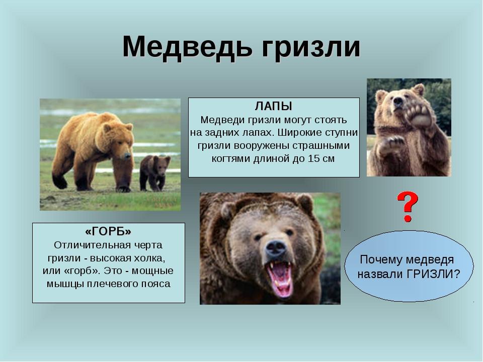 Медведь гризли «ГОРБ» Отличительная черта гризли - высокая холка, или «горб»....