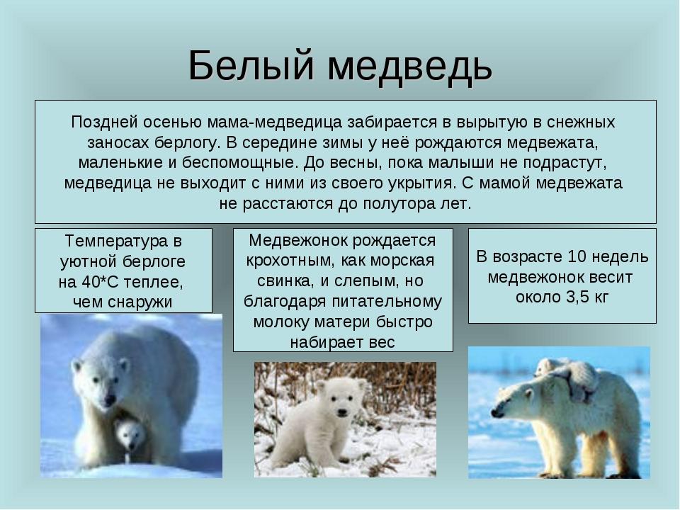 Белый медведь Поздней осенью мама-медведица забирается в вырытую в снежных за...