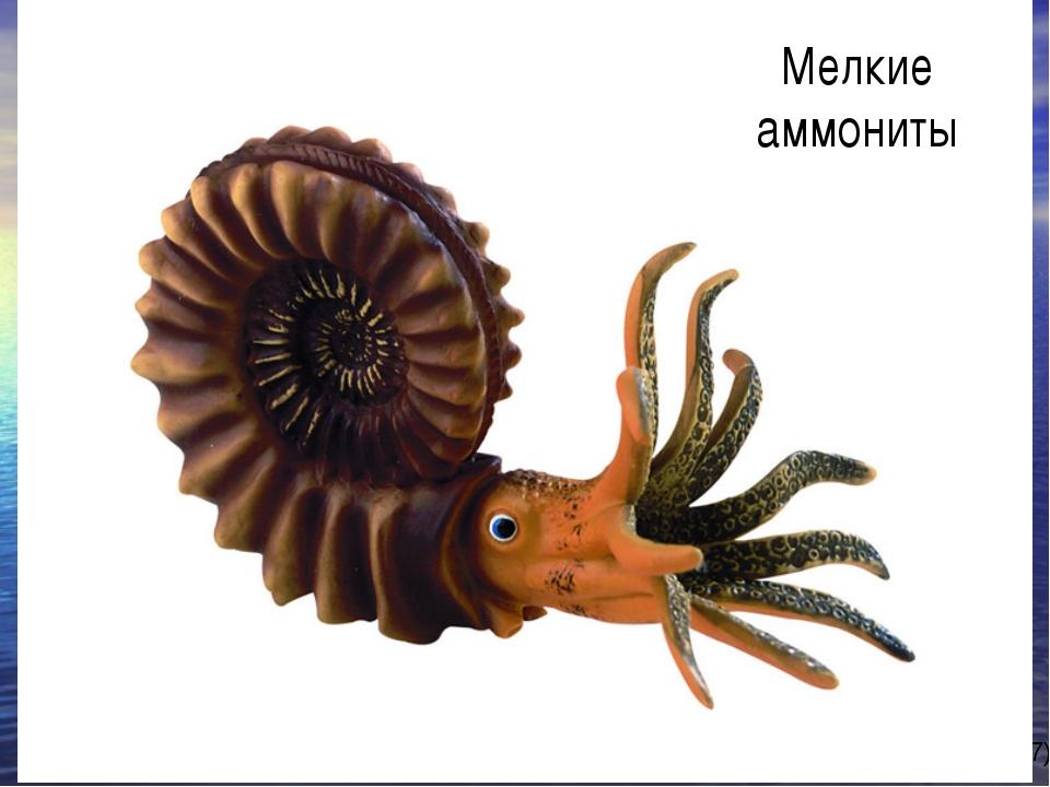 Мелкие аммониты автор-составитель: Карташова М.А. (МБОУ СОШ № 37)