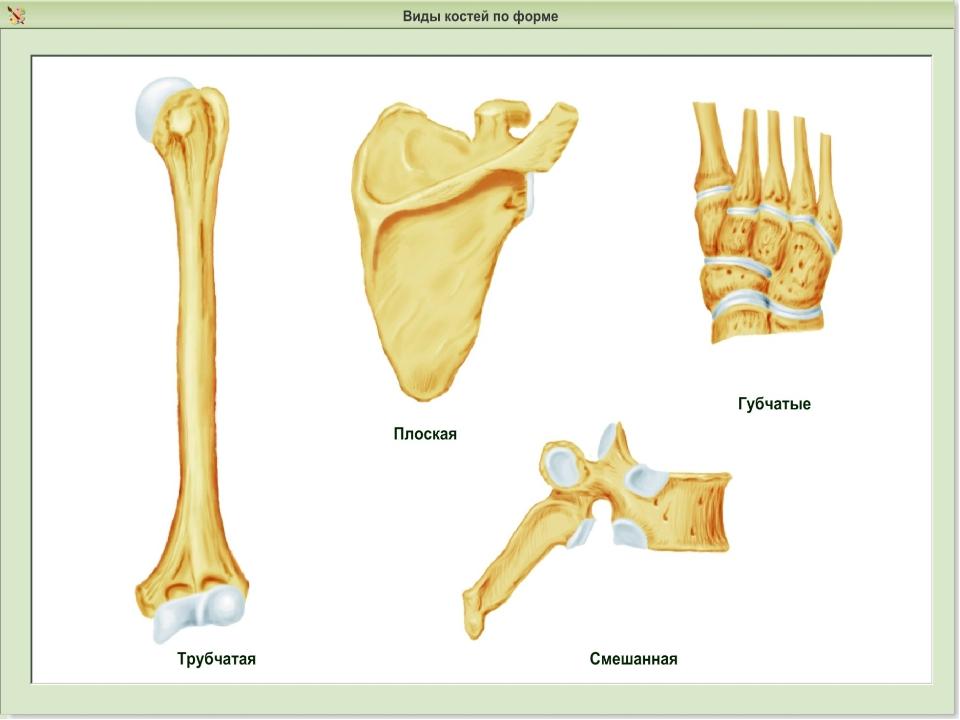 Плоская кость человека картинки