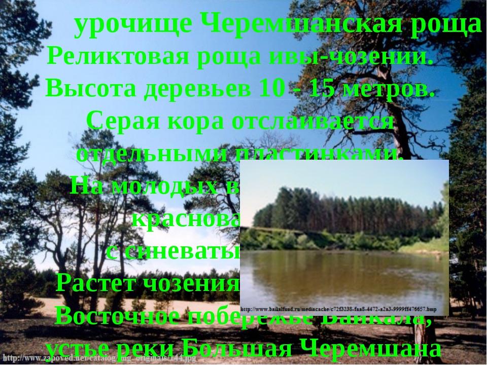 урочище Черемшанская роща Реликтовая роща ивы-чозении. Высота деревьев 10 - 1...