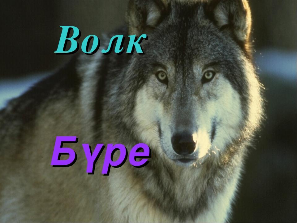 Волк Бүре