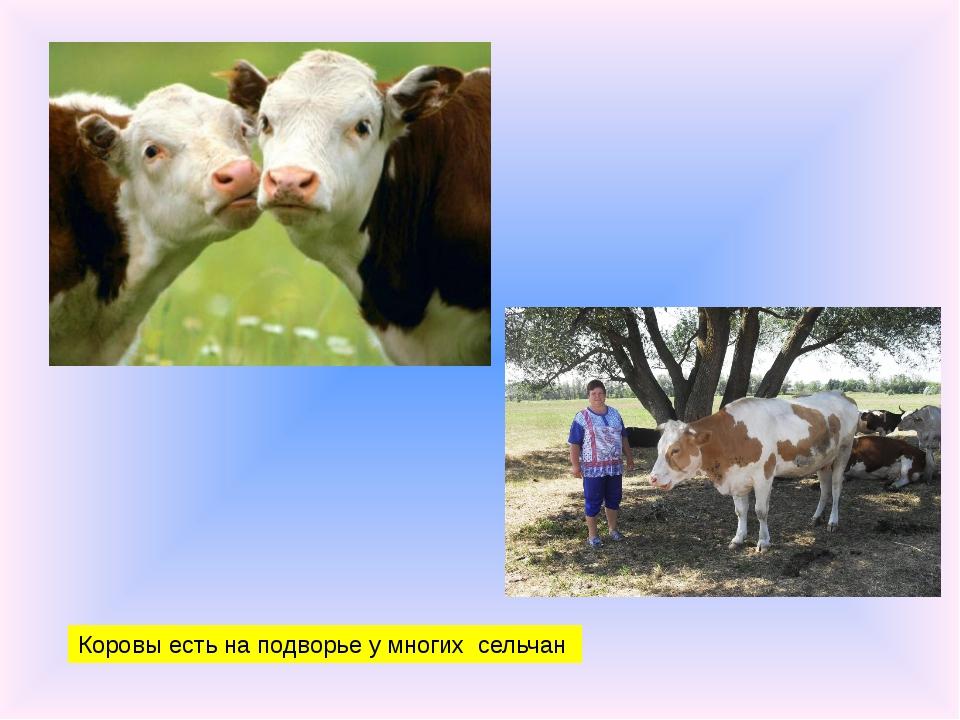 Коровы есть на подворье у многих сельчан