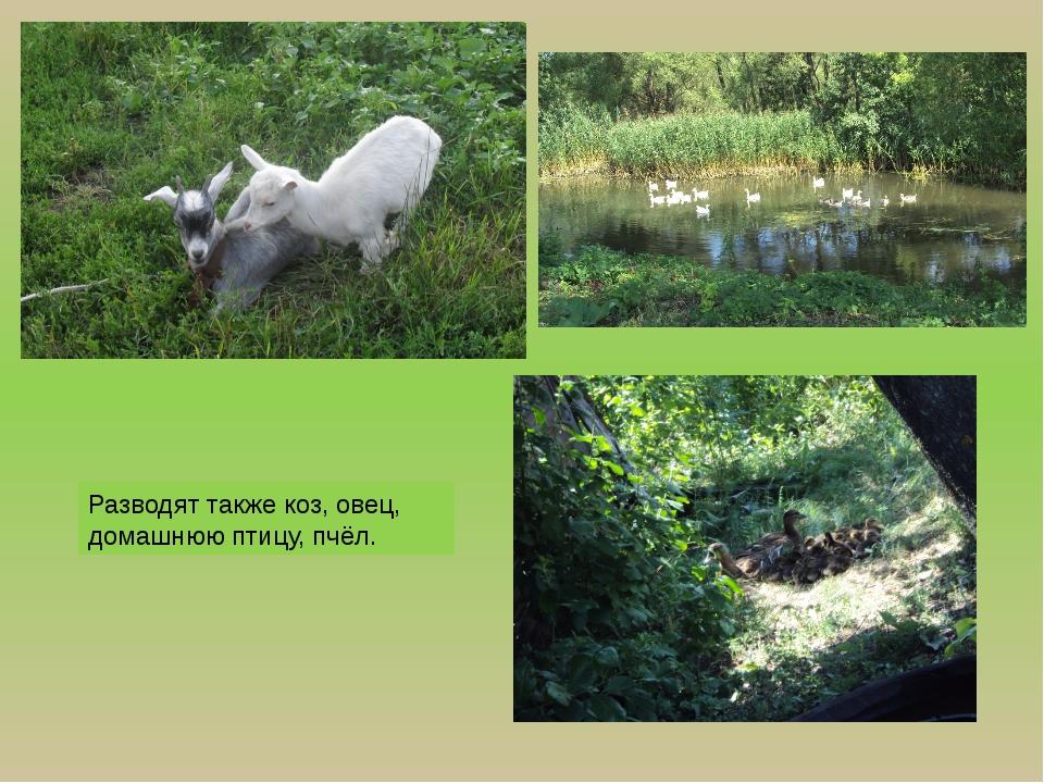Разводят также коз, овец, домашнюю птицу, пчёл.