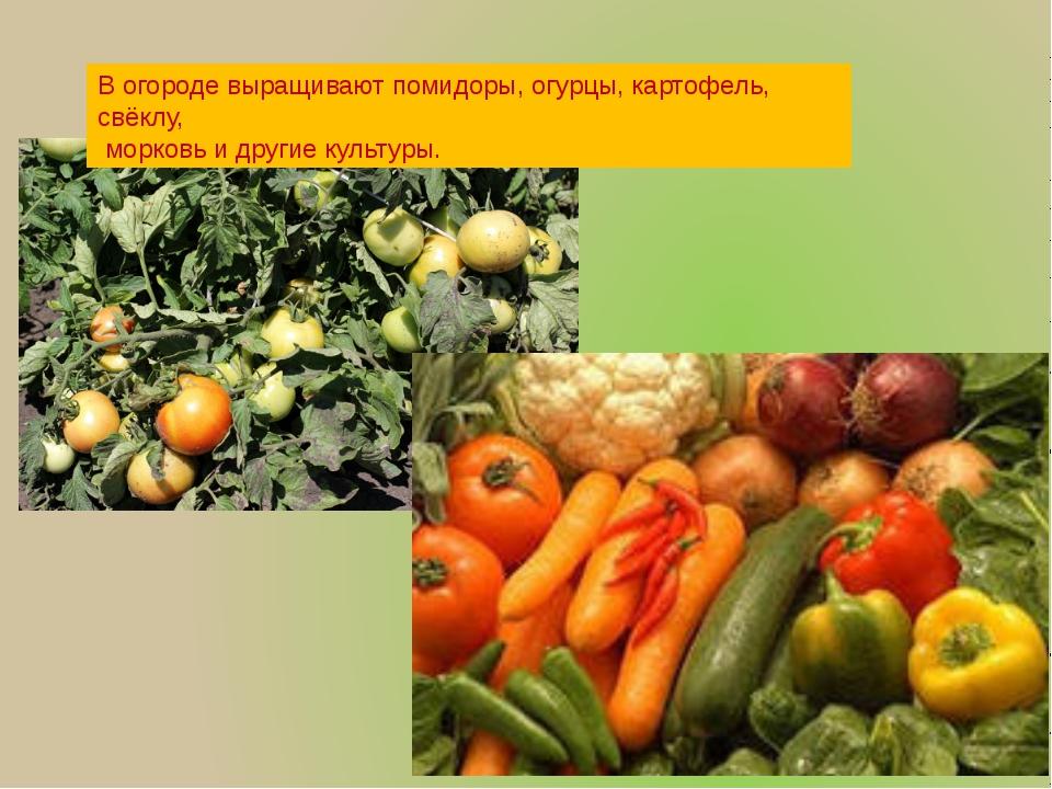 В огороде выращивают помидоры, огурцы, картофель, свёклу, морковь и другие ку...