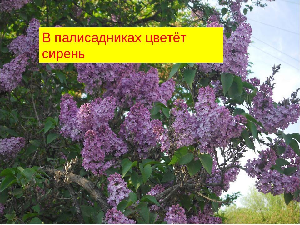 В палисадниках цветёт сирень