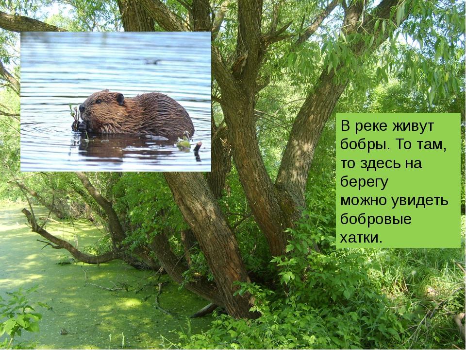 В реке живут бобры. То там, то здесь на берегу можно увидеть бобровые хатки.