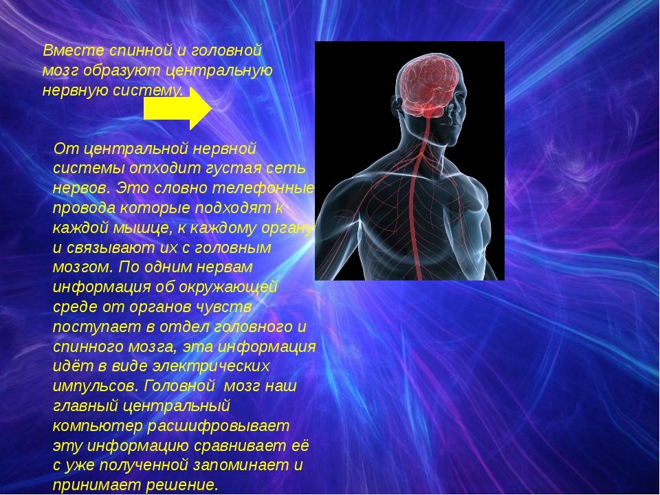 Вместе спинной и головной мозг образуют центральную нервную систему. От центр...
