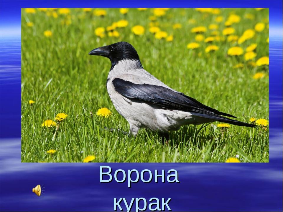 Ворона курак