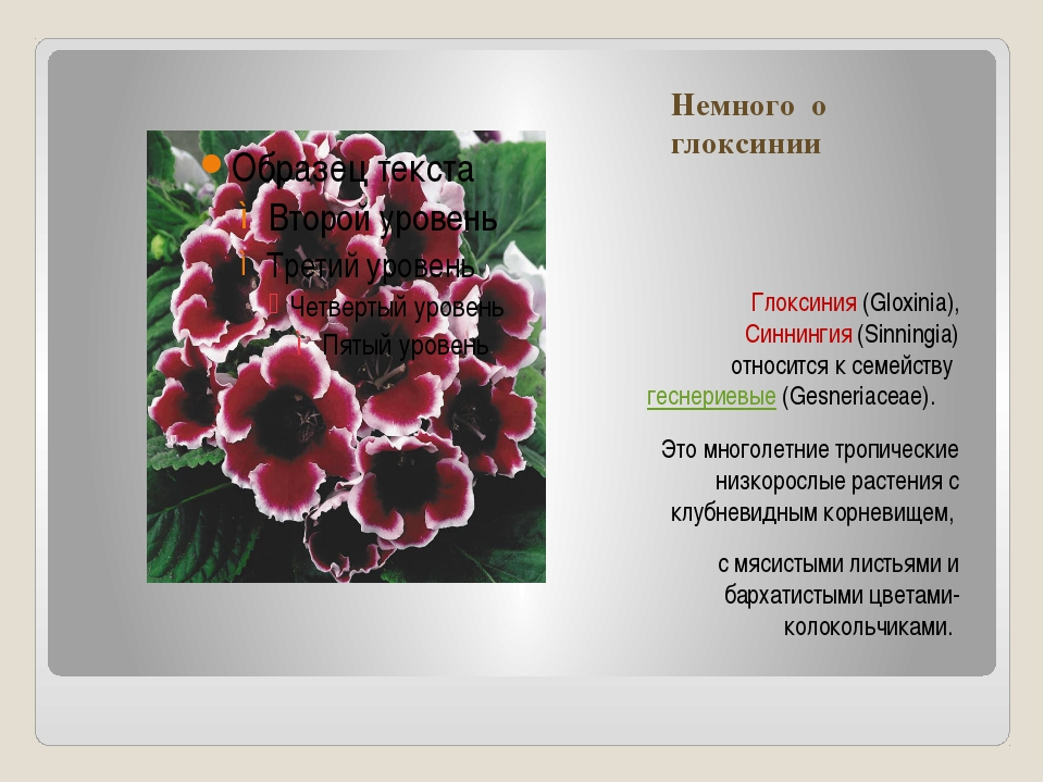 Немного о глоксинии Глоксиния (Gloxinia), Синнингия (Sinningia) относится к с...
