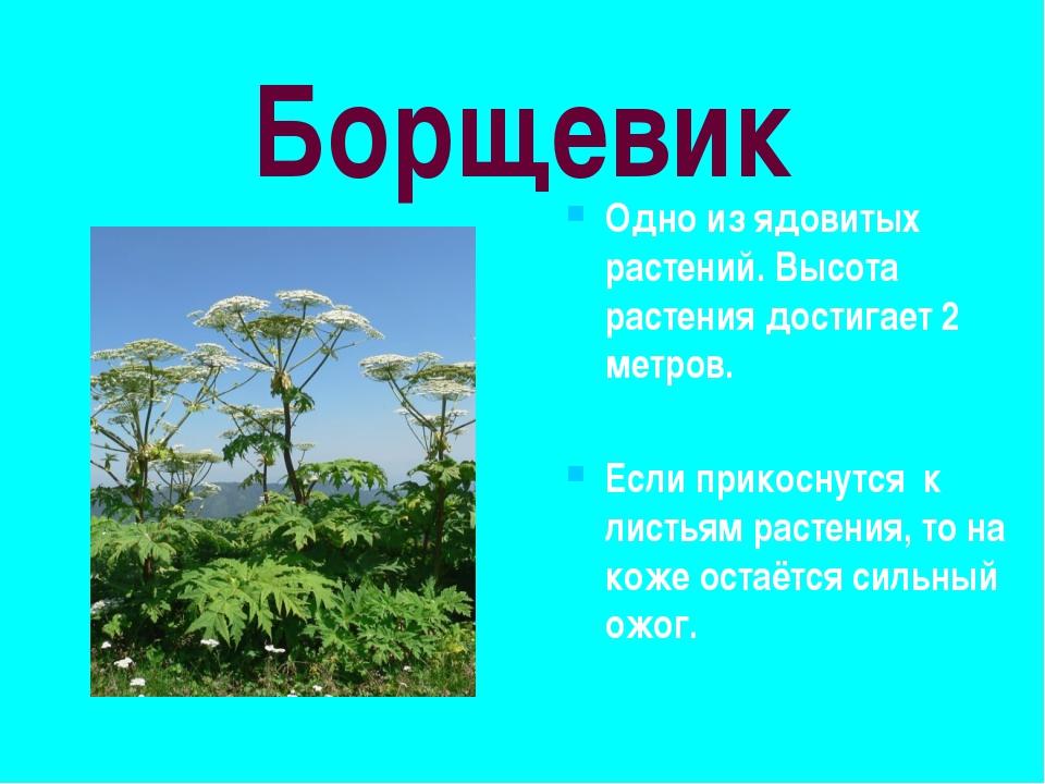 Эвкалипт Одно из самых высоких деревьев Высота дерева достигает 100 метров.