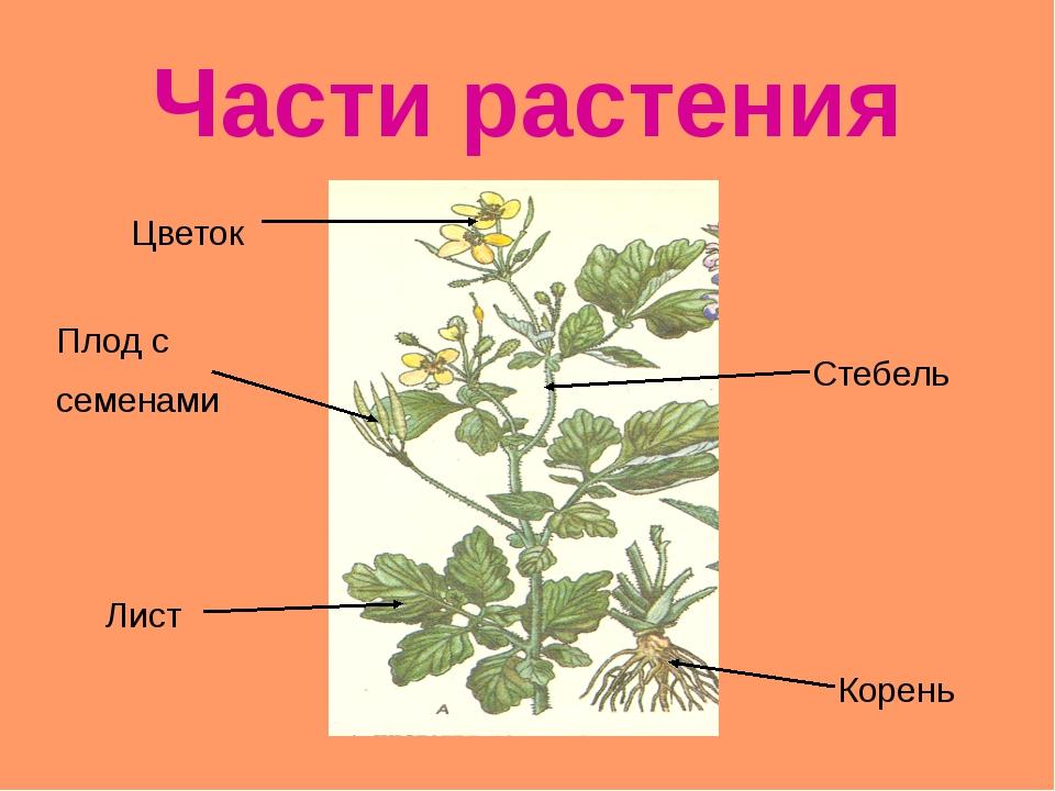 РАЗНООБРАЗИЕ РАСТЕНИЙ На какие группы разделили учёные все растения? ВОДОРОСЛ...