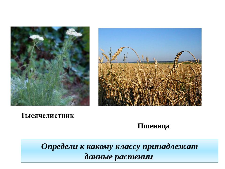 Определи к какому классу принадлежат данные растении Тысячелистник Пшеница