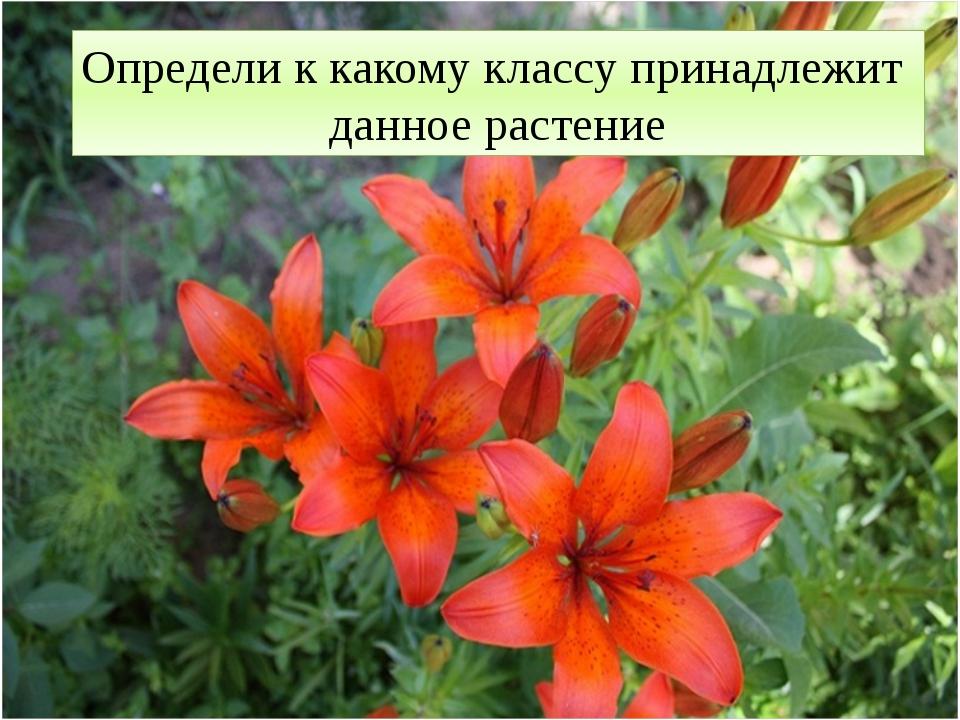 Определи к какому классу принадлежит данное растение