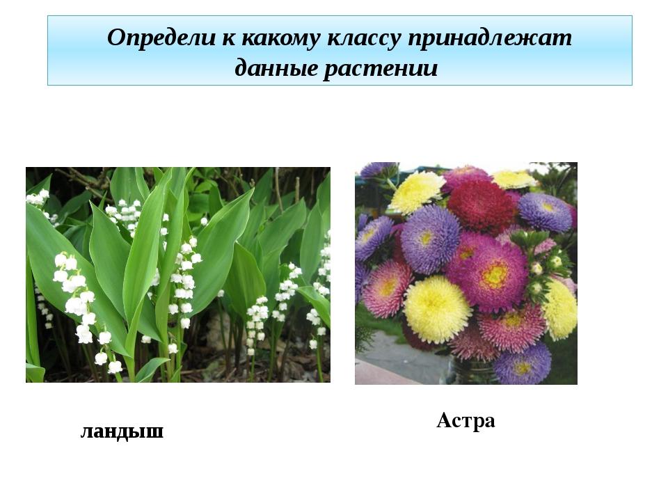 ландыш Определи к какому классу принадлежат данные растении Астра
