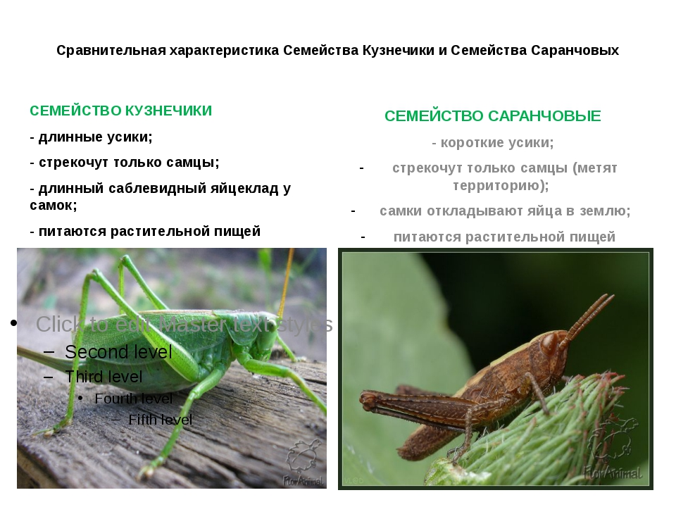 Сравнительная характеристика Семейства Кузнечики и Семейства Саранчовых СЕМЕЙ...