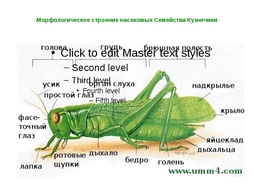 Морфологическое строение насекомых Семейства Кузнечики